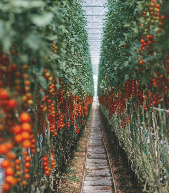 'Cryptomatoes' Using Excess Mining Heat to Grow Produce