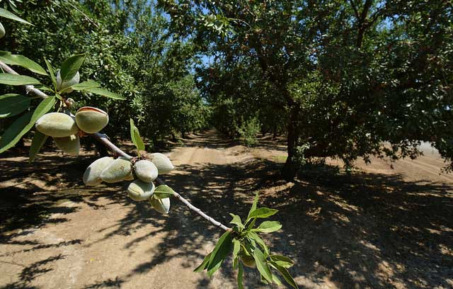 Almonds are California's largest tree nut crop